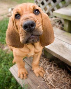 381px-Bloodhound_Puppy