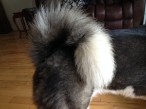 Ocean's tail. Notice the hairs all point the same way? Yeah. Not a natural occurrence.