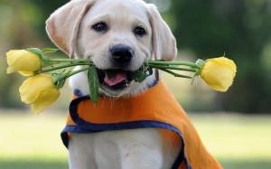 dog-puppy-labrador-retriever-flowers-roses