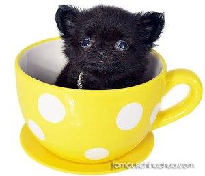 teacup-chihuahua-winner