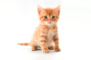 9343-a-cute-orange-kitten-isolated-on-a-white-background-pv