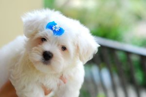 Maltese_puppy_blue_bow