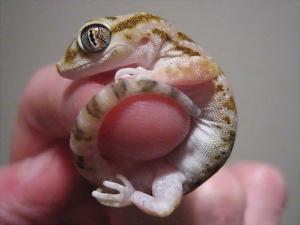 leopard-gecko-cute