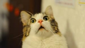 surprised-cat