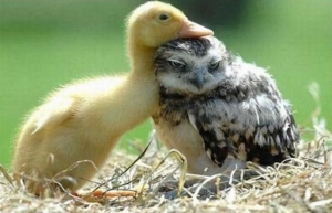 duckling-and-baby-owl